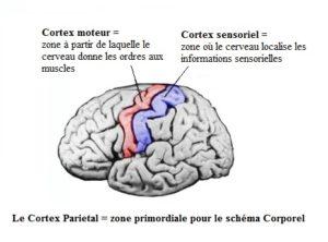 cortex-sparietal