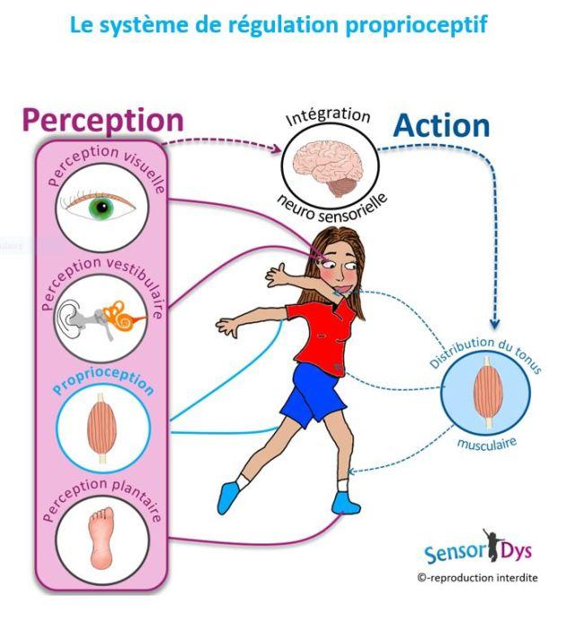 le système de régulation proprioceptif